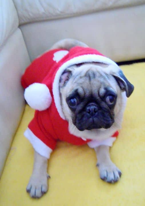 Pug with Christmas suit