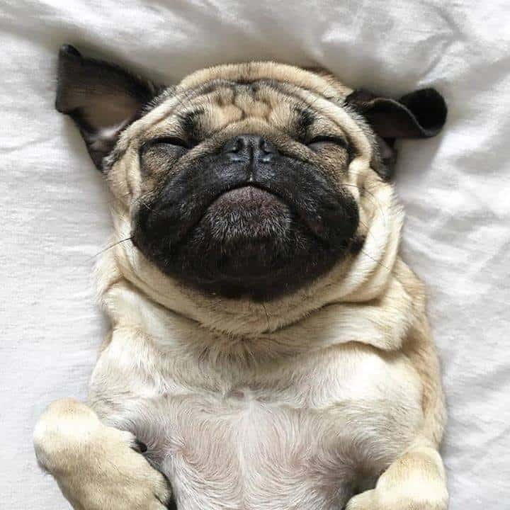 Monday Pug