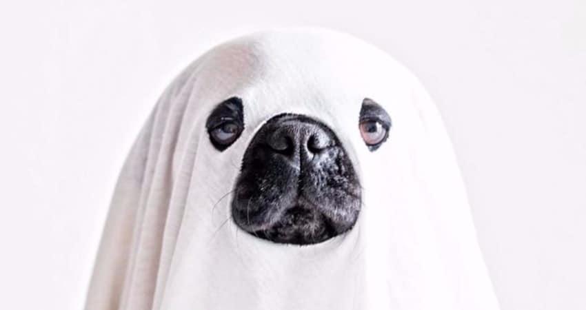pug on white blanket costume