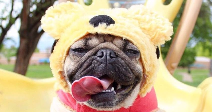 pug with yellow costume