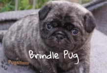 brindle pug puppies