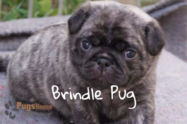 Brindle Pug Puppies One Of The Most Favorite Pug Breed