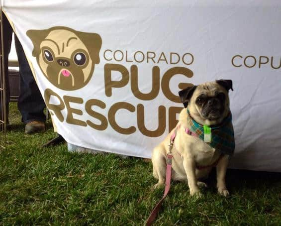pug puppies rescue in colorado