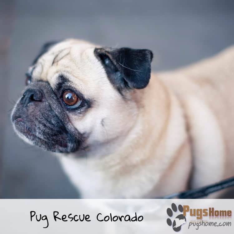 pugs rescuing colorado
