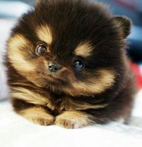 Pomeranian mixes pug