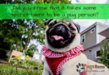 Pug puppies for sale in Nashville TN