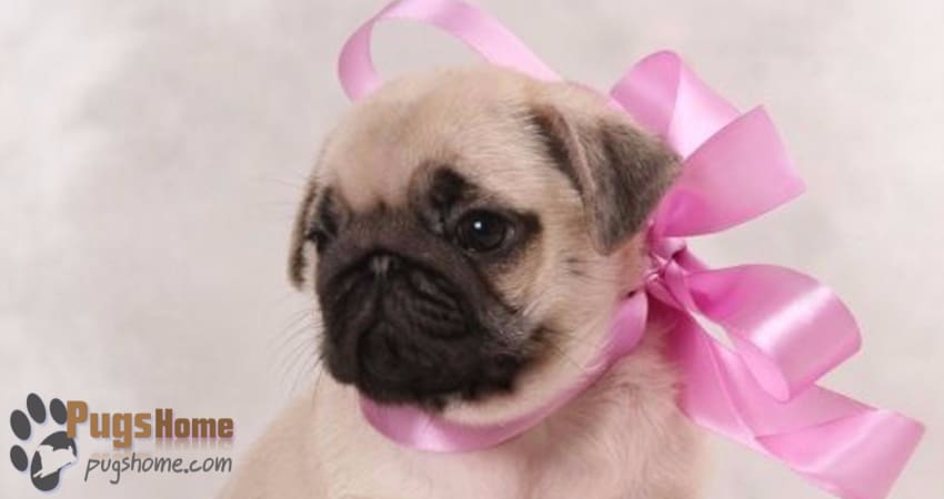 Pug Puppies For Sale In Nashville - Information
