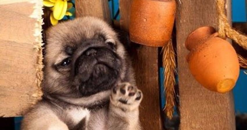 Pug Puppies For Sale In Nashville Information