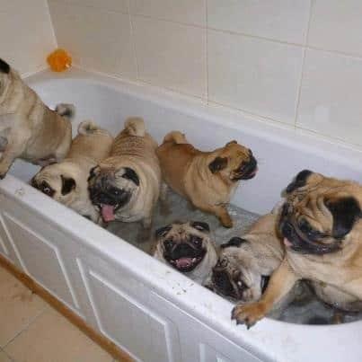 pugs bathe
