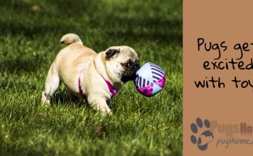 Pugs playing toys