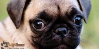 baby cute pug