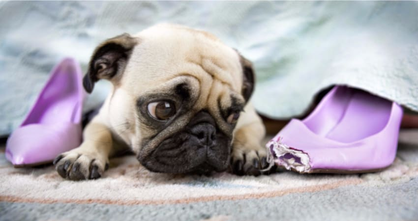 baby pug played with shoes