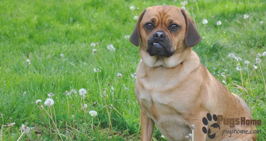 A Pug Cross Beagle Is Mixed Breed Between And This Why It Also Known As Puggle Since The Two Breeds Are So Adorable