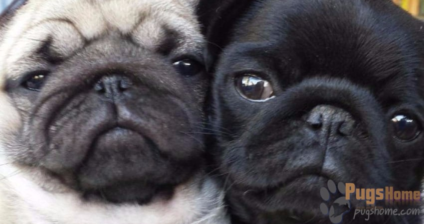 Pugs For Sale In North Carolina - Information
