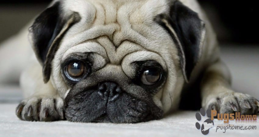 Pugs For Sale In Texas - Information