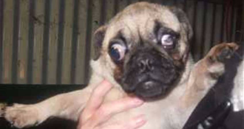 Pugs For Sale In New York - Information