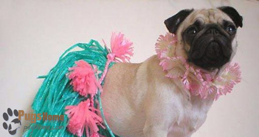 Pugs For Sale In Ohio - Information