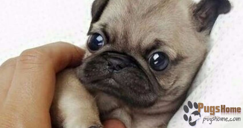 Pugs For Sale In Pennsylvania - Information