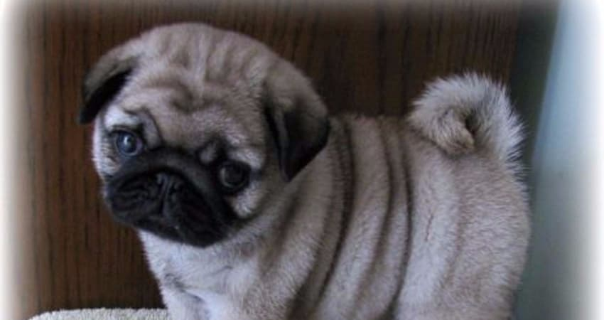 Best Dog Stairs For Pugs