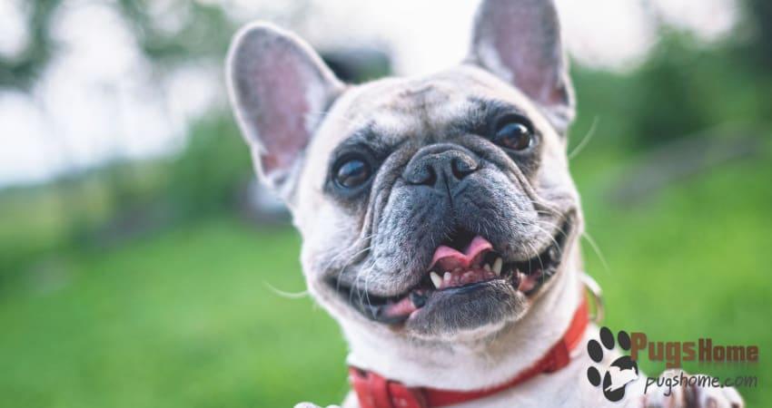 Frug French Bulldog Pug Mix Frenchie Pug Puppies