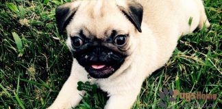 pug for sale in indiana