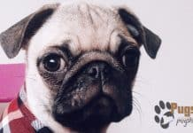 pug for sale in ky