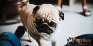 pug for sale in pa