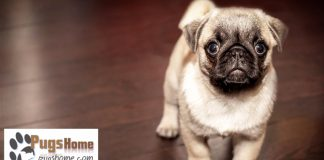 pug for sale in texas