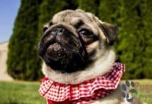 pug for sale iowa