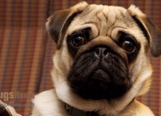 pug puppies for sale in ny