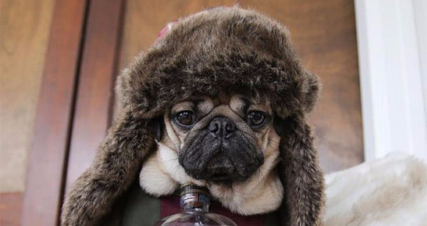pug with fur hat