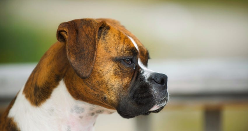 pug and boxer breed