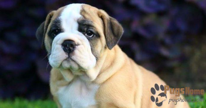 Bulldog Pug Mix