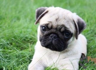 Miniature Pug Puppies For Sale