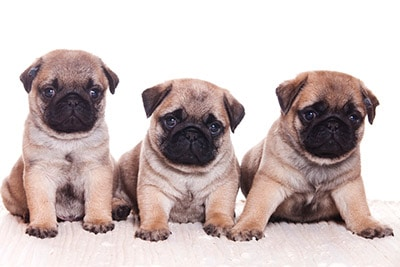 pug for sale san diego pug puppies for sale in san diego 6851