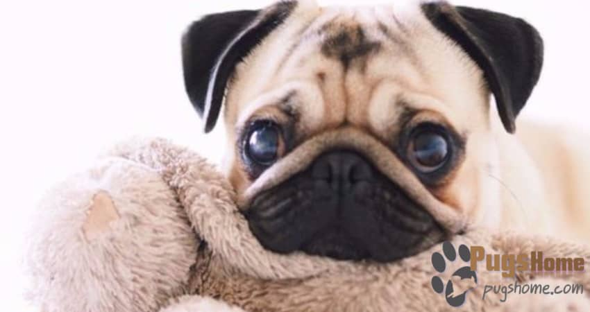 Pugs For Sale In Colorado - Information