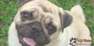 Pug Puppies For Sale In Las Vegas