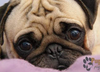 Pug Puppies For Sale In MN Minnesota