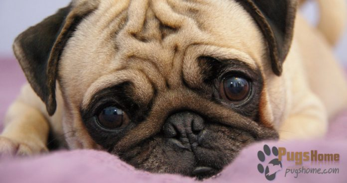 pug breeders mn pug puppies for sale in mn minnesota 3288
