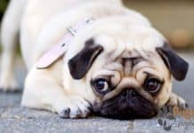 Pug Puppies For Sale In Oregon