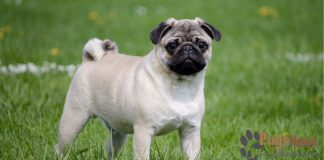 Pug Puppies For Sale In San Diego