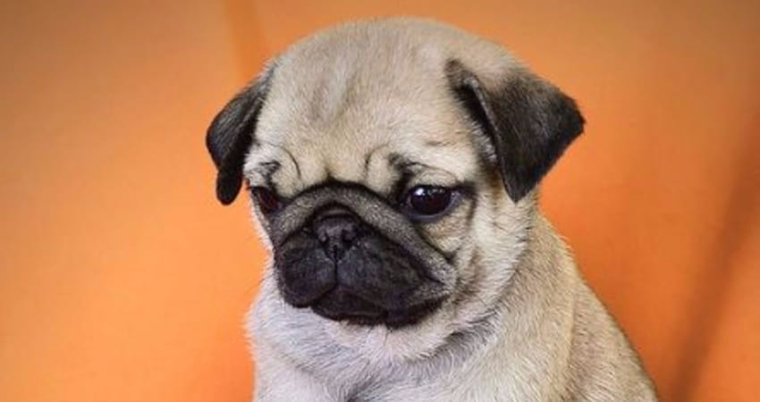 pug for sale seattle pugs for sale in seattle information 1125