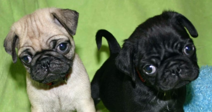 Pug Puppies for Sale in Kansas - Information