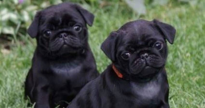 pug breeders in michigan