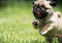 pug puppies for sale in bay area