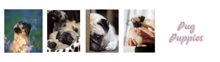 Pugs For Sale In Colorado Information