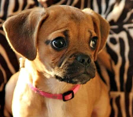 Puggle Puppies For Sale