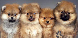 pugs-a-pom
