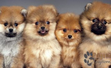 North carolina pomeranian rescue groups autos post for Cutest house in the world