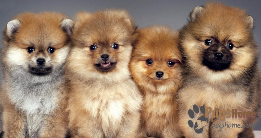 Pomeranian Pug Mix Pug A Pom